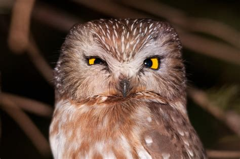 Northern Saw-whet Owl - 3 by mpapke on DeviantArt